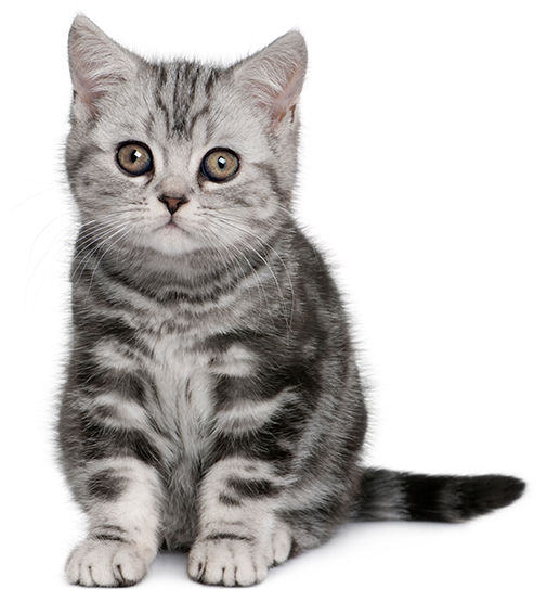 gray shorthair kitten